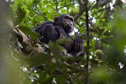 10_Schimpansen_Uganda.jpg