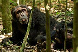 10_rundreise_uganda_21_tage_schimpansen.jpg