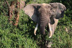 12_Elefant_Queen_Elisabeth.jpg