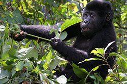 13_Gorilla_Bwindi_Uganda.jpg