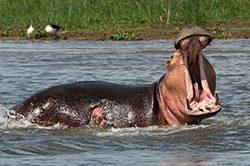 13_rundreise_uganda_21_tage_hippos.jpg