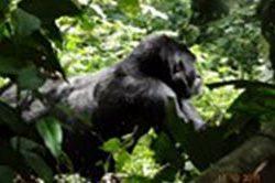 14_Silberruecken_Uganda.jpg