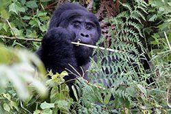 18_Berg_Gorilla_Ruanda.jpg
