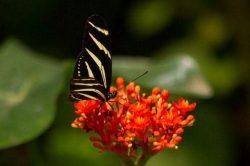 5_zebra_longwing_640x427.jpg