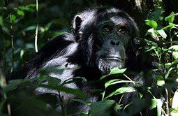 6_Schimpansen_Uganda_Ruanda_Rundreise.jpg