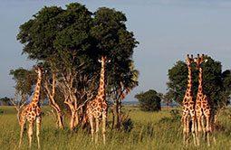 6_rundreise_uganda_21_tage_giraffen.jpg