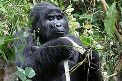 8-gorilla_trekking_uganda-1.jpg